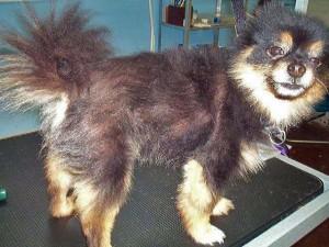 resuts-shaving-dogs-double-coat-300x225